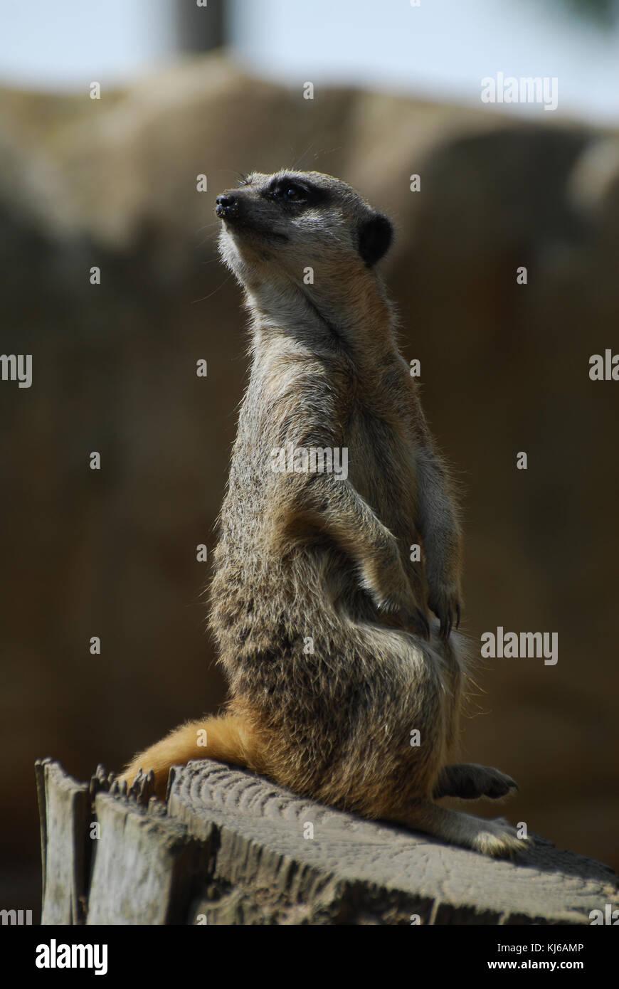 Un meerkat à dans la distance Photo Stock