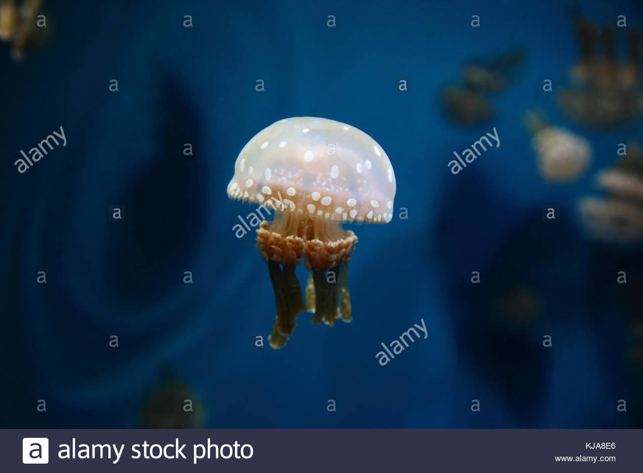 White spotted jelly Banque D'Images