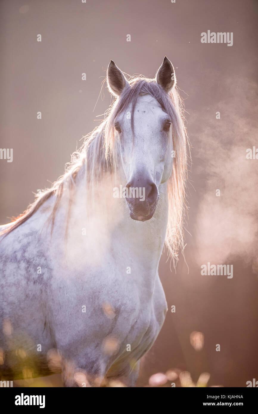 Cheval Espagnol pur, andalou. Portrait d'hongre gris montrant souffle chaud. Allemagne Photo Stock
