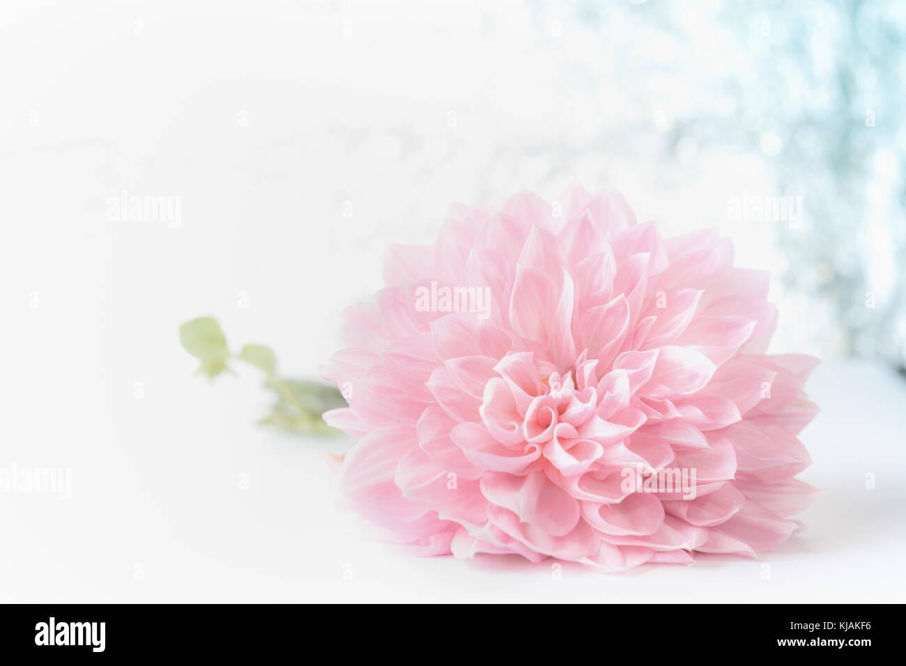 Belle Grande Fleur Rose Pale Sur Fond Flou Vue Avant Cartes