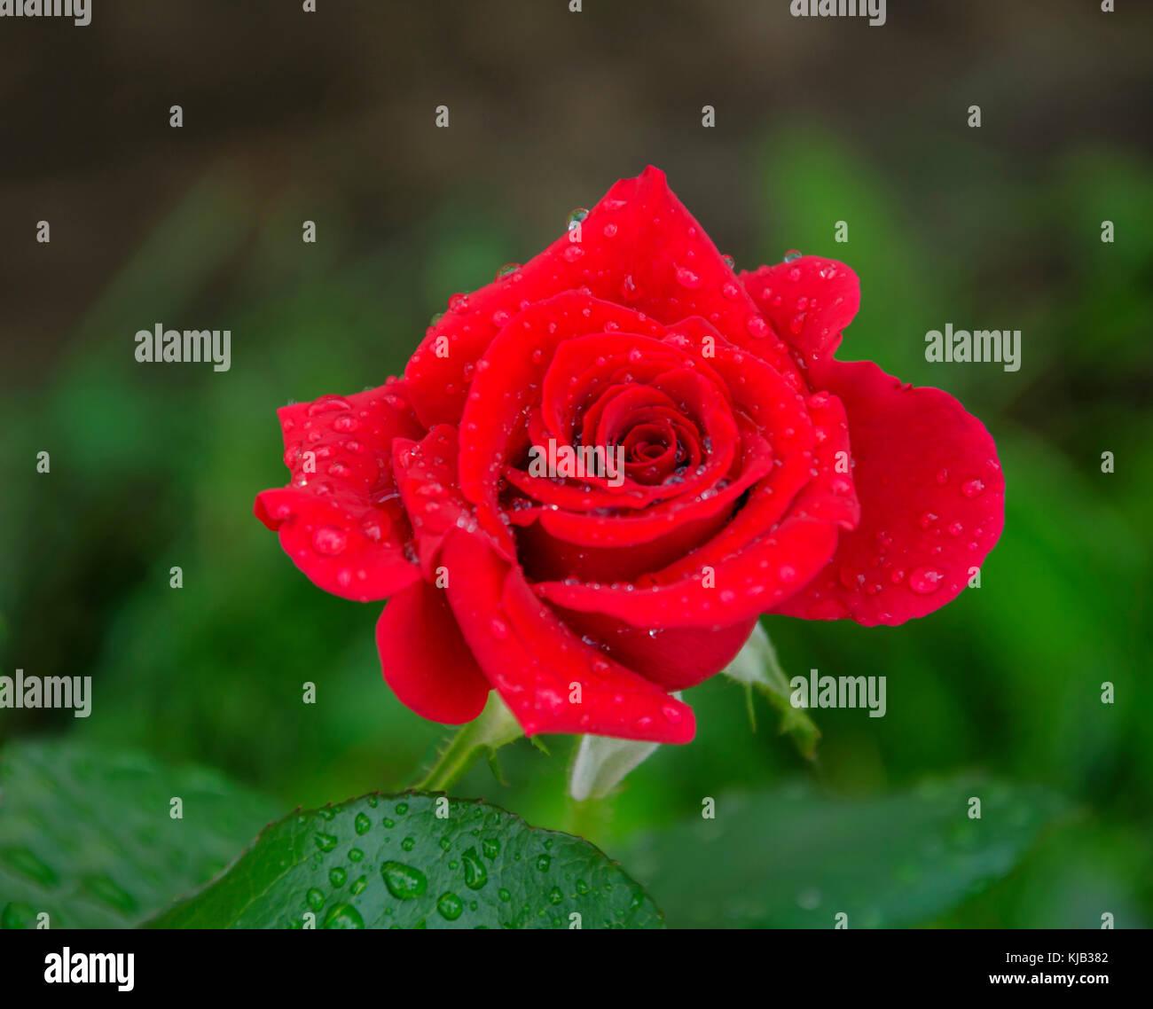 l 39 t dans le jardin d 39 une belle fleur rose rouge avec un parfum agr able avec des gouttelettes. Black Bedroom Furniture Sets. Home Design Ideas
