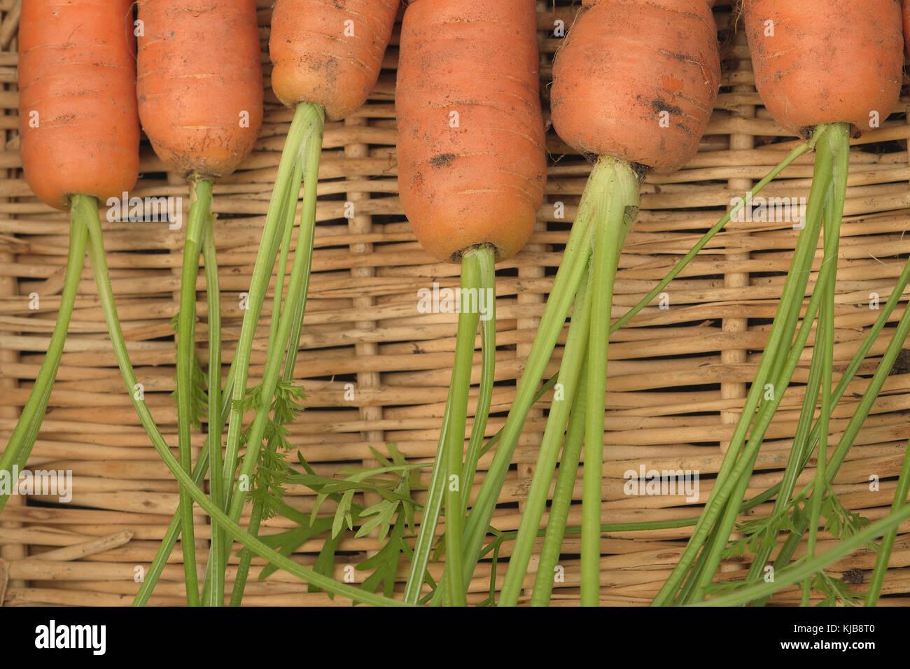 Une photographie du gros plan les sommets de flyaway issus de carottes résistantes à la mouche de l'aga Photo Stock