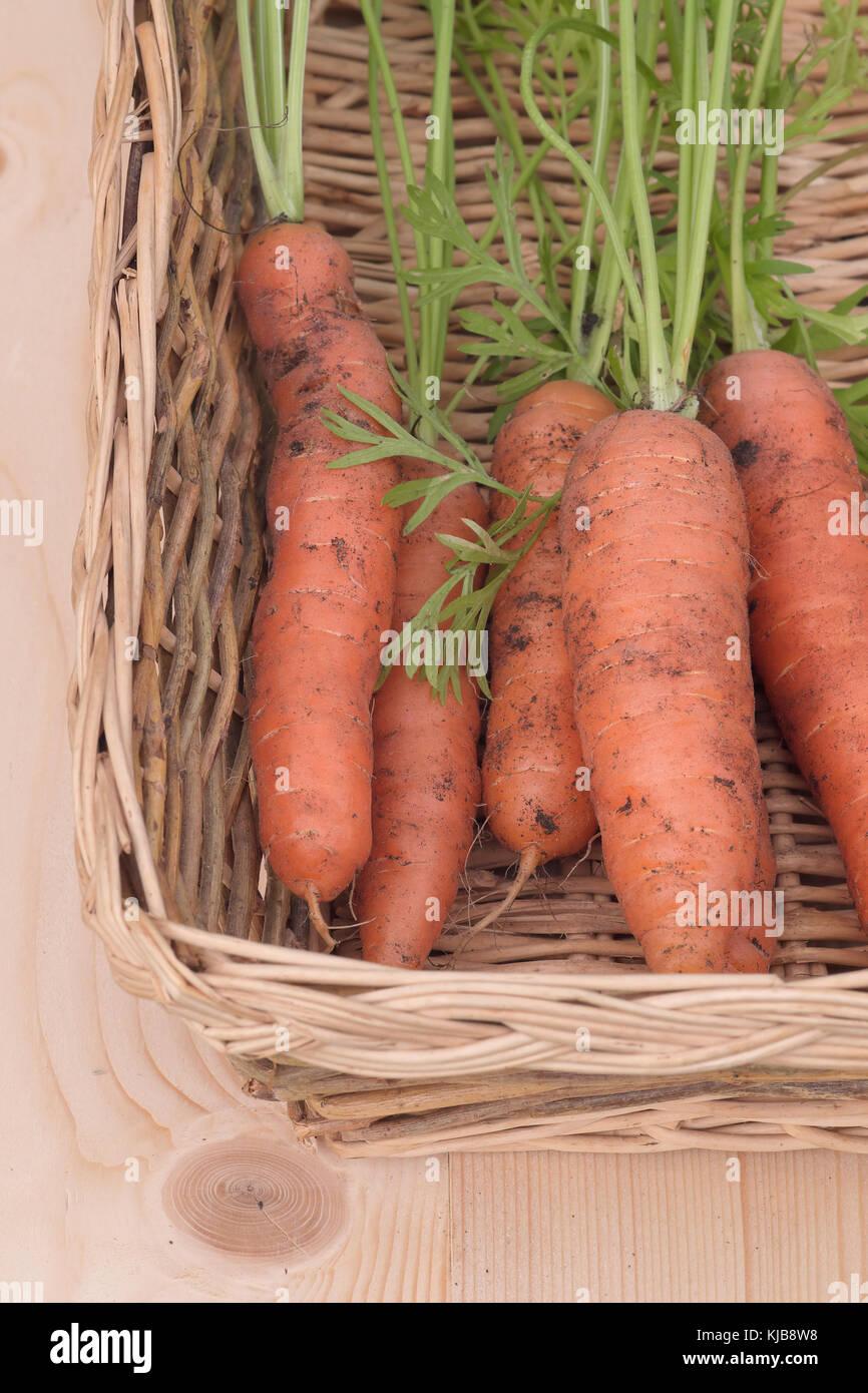 Une photographie du gros plusieurs flyaway f1 issus de l'aga de la carotte, et récemment récoltés, Photo Stock
