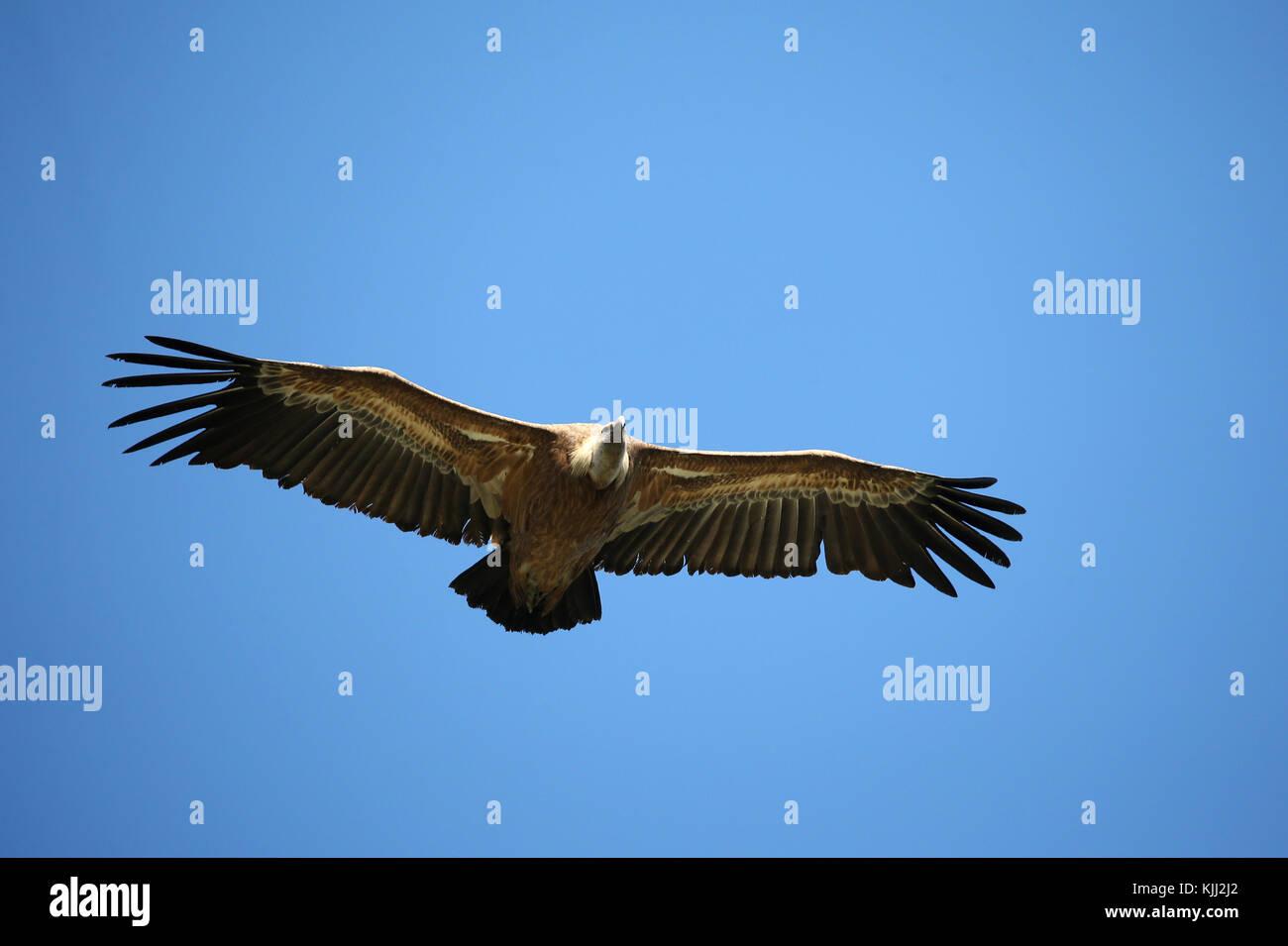 Vautour fauve en vol d'eurasie (Gyps fulvus). drome. France. Photo Stock