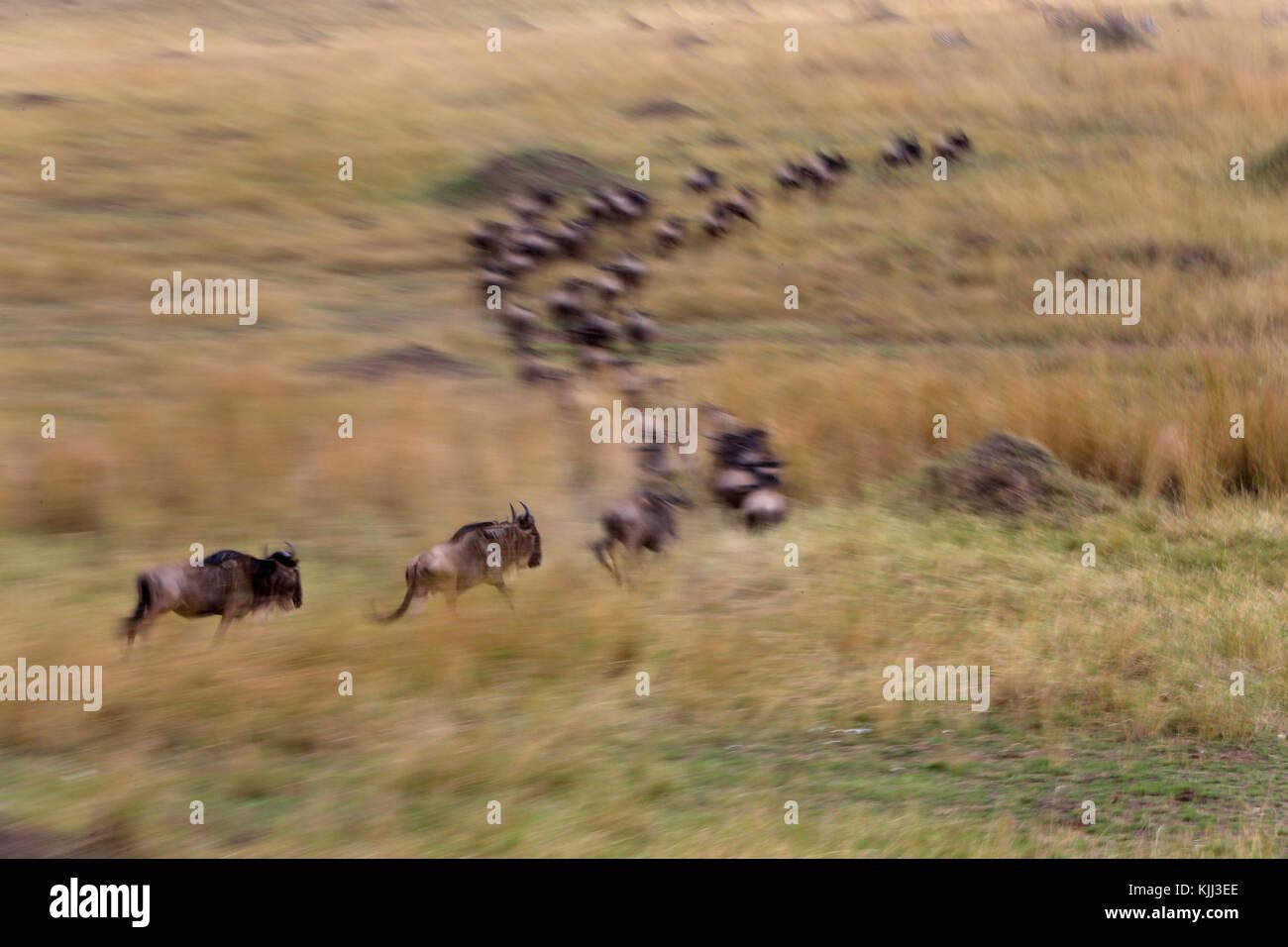 Le Gnou bleu (Connochaetes taurinus) troupeau migrant à travers la savane. Flou de mouvement d'une exécution Photo Stock
