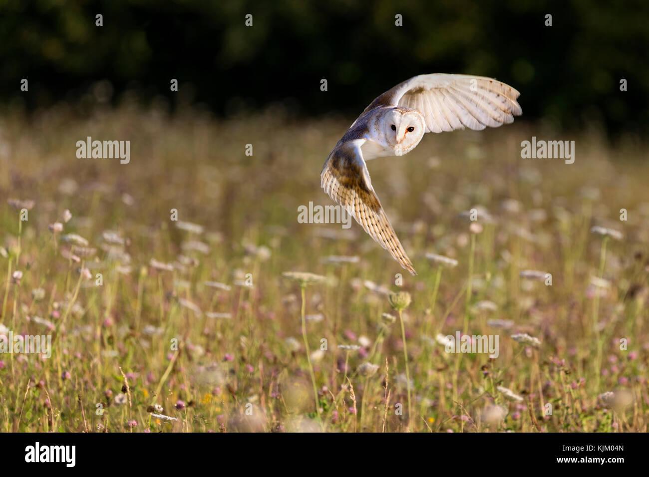Chouette effraie en vol Photo Stock