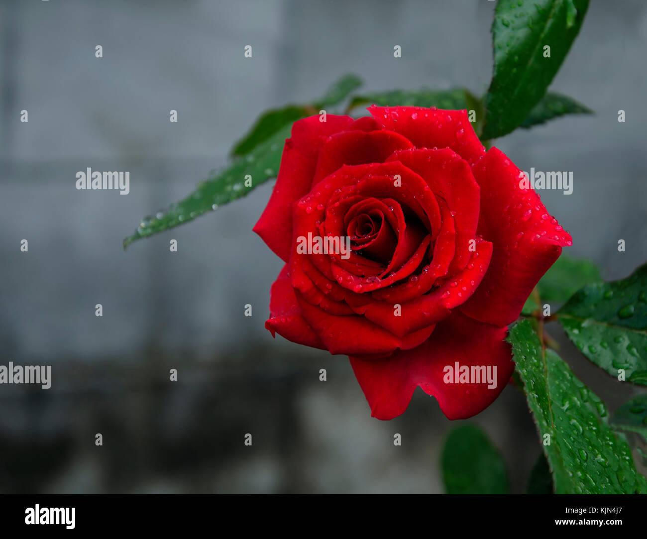 L Ete Dans Le Jardin D Une Belle Fleur Rose Rouge Avec Un Parfum