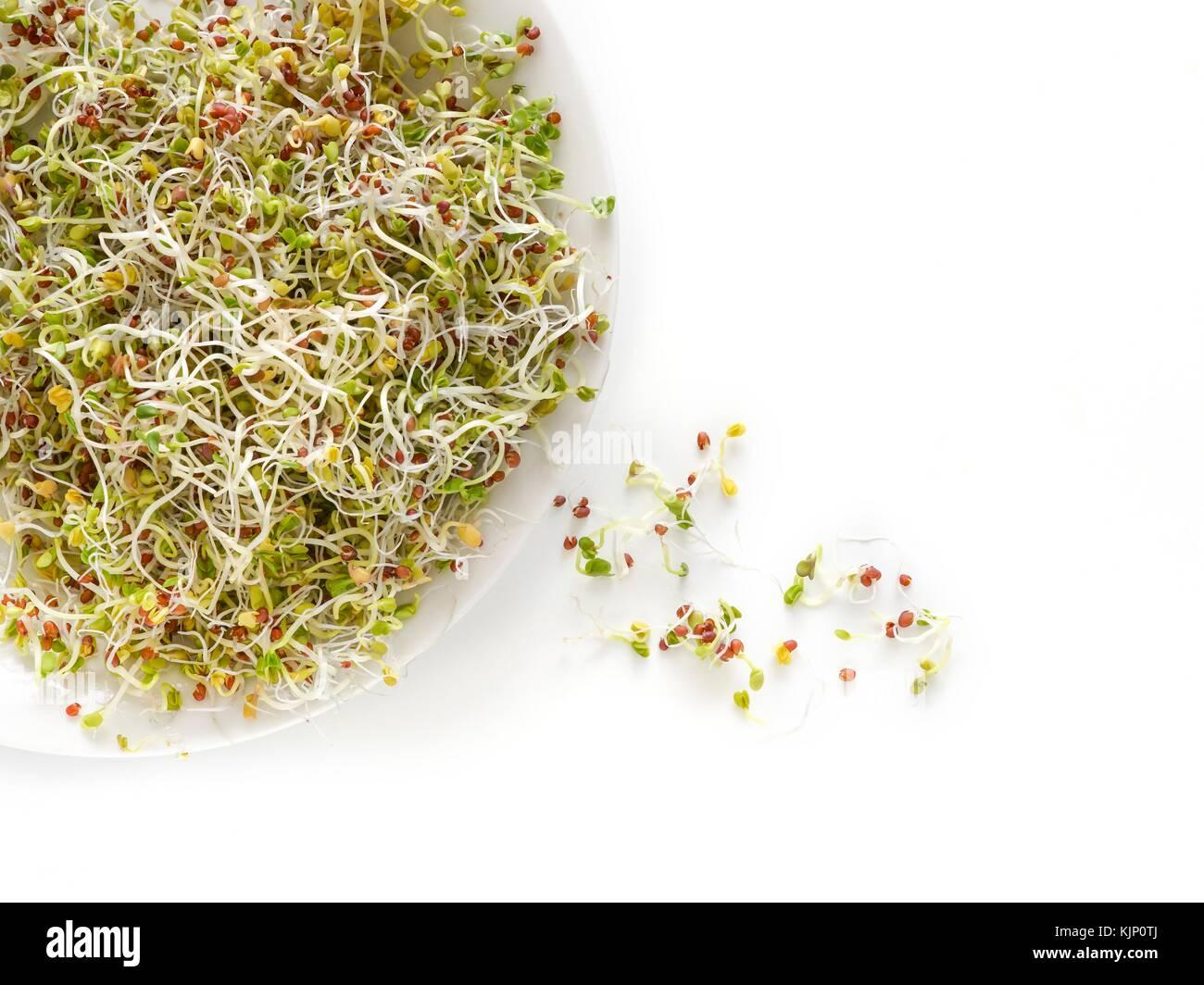La germination des graines de moutarde brune sur un plat. Photo Stock