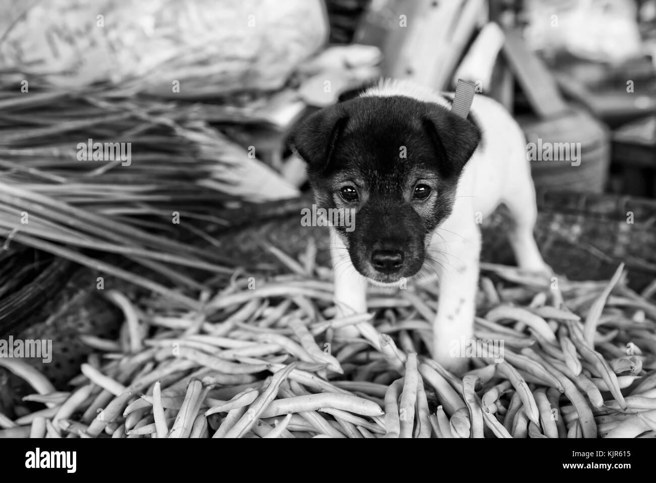 Chiot curieux sur un marché au Vietnam (le chien est un animal de compagnie, il n'était pas à Photo Stock