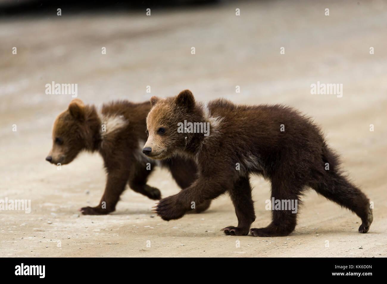 Ours grizzli (Ursus arctos) deux oursons de l'année le parc road dans throfare passent, Denali National Photo Stock