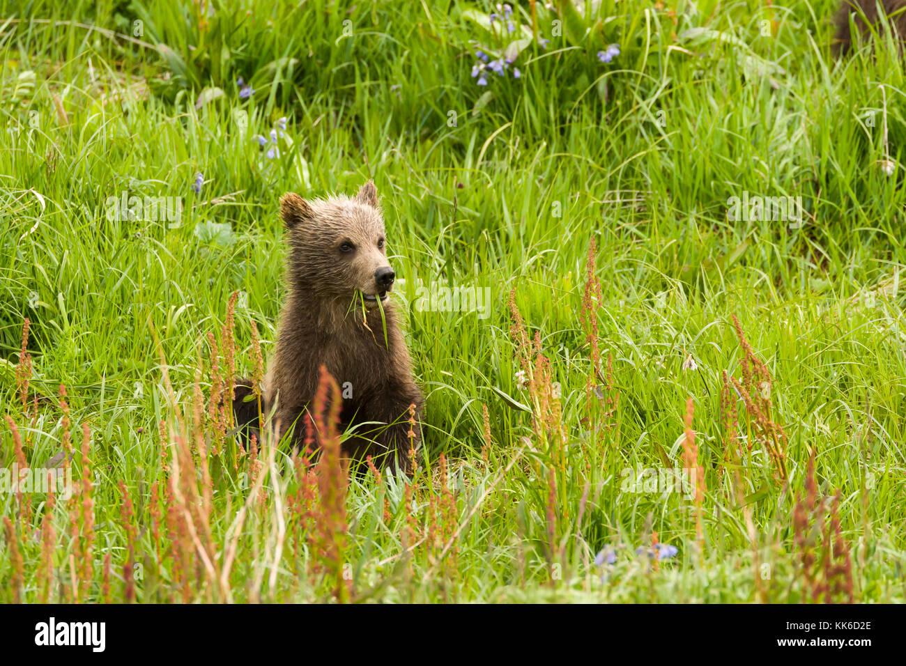 Ours grizzli (Ursus arctos) printemps cub l'alimentation avec son frère et sa mère en col de sable, Photo Stock