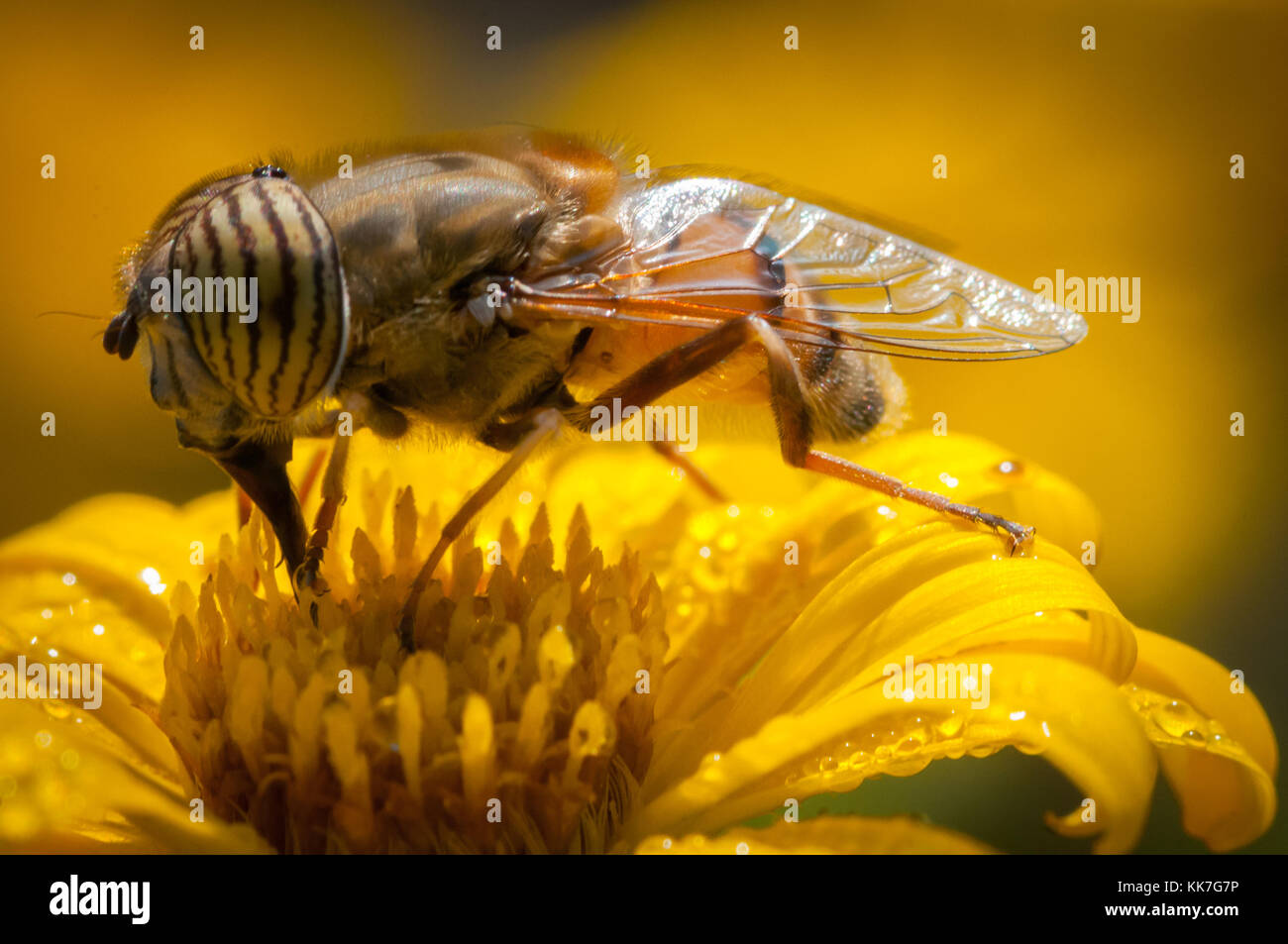 Gros plan d'une abeille sur une fleur jaune à la première lumière Photo Stock