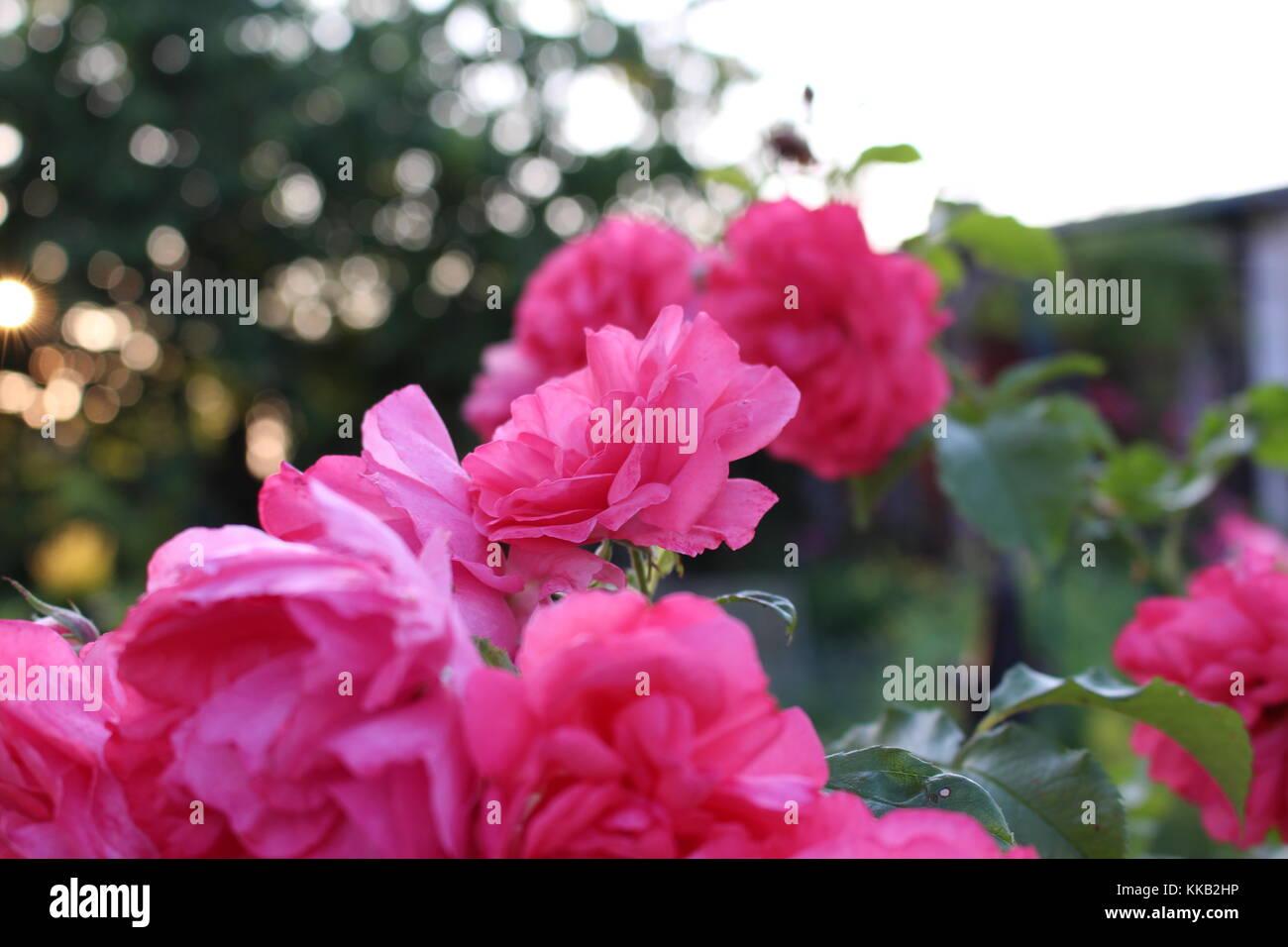 Rose chatte Tumblr
