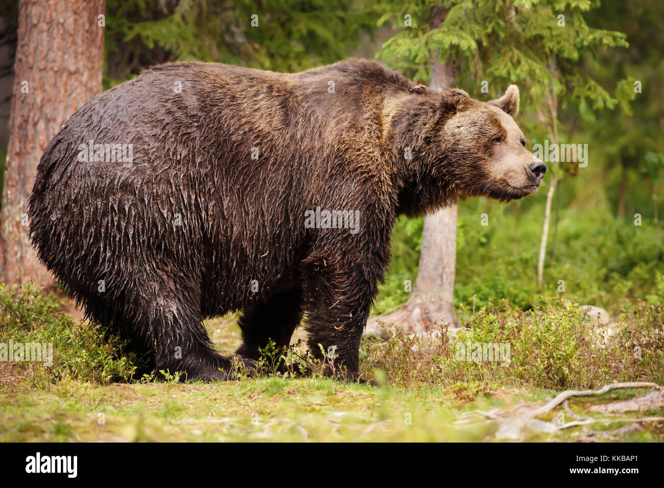 Grizzly Bear Happy Photos Grizzly Bear Happy Images Alamy