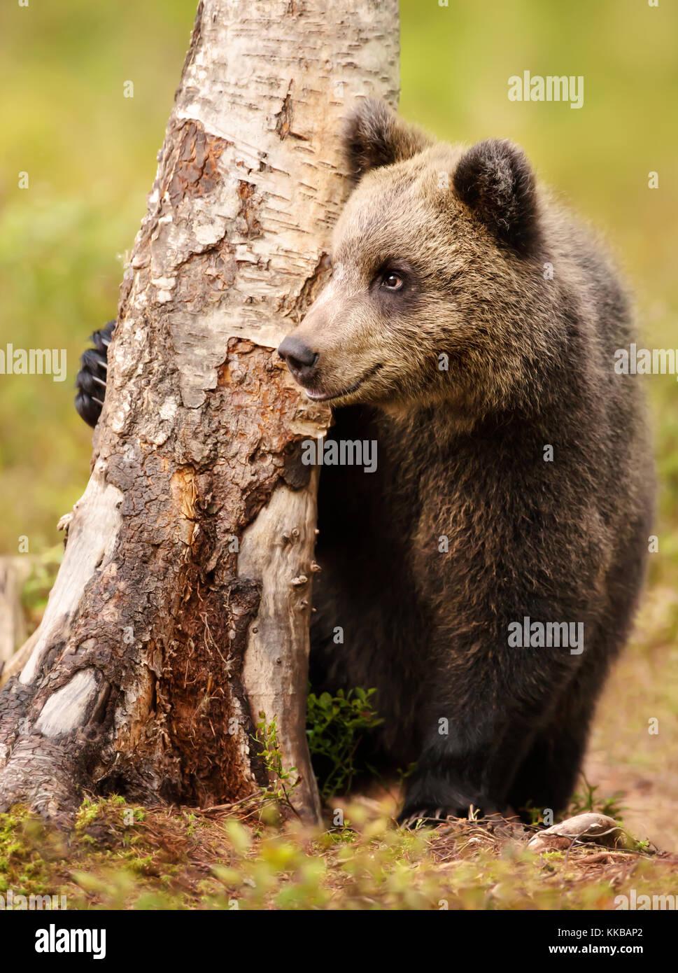 Eurasienne mignon petit ours brun ours mâles de se cacher derrière un arbre dans la forêt en été Photo Stock