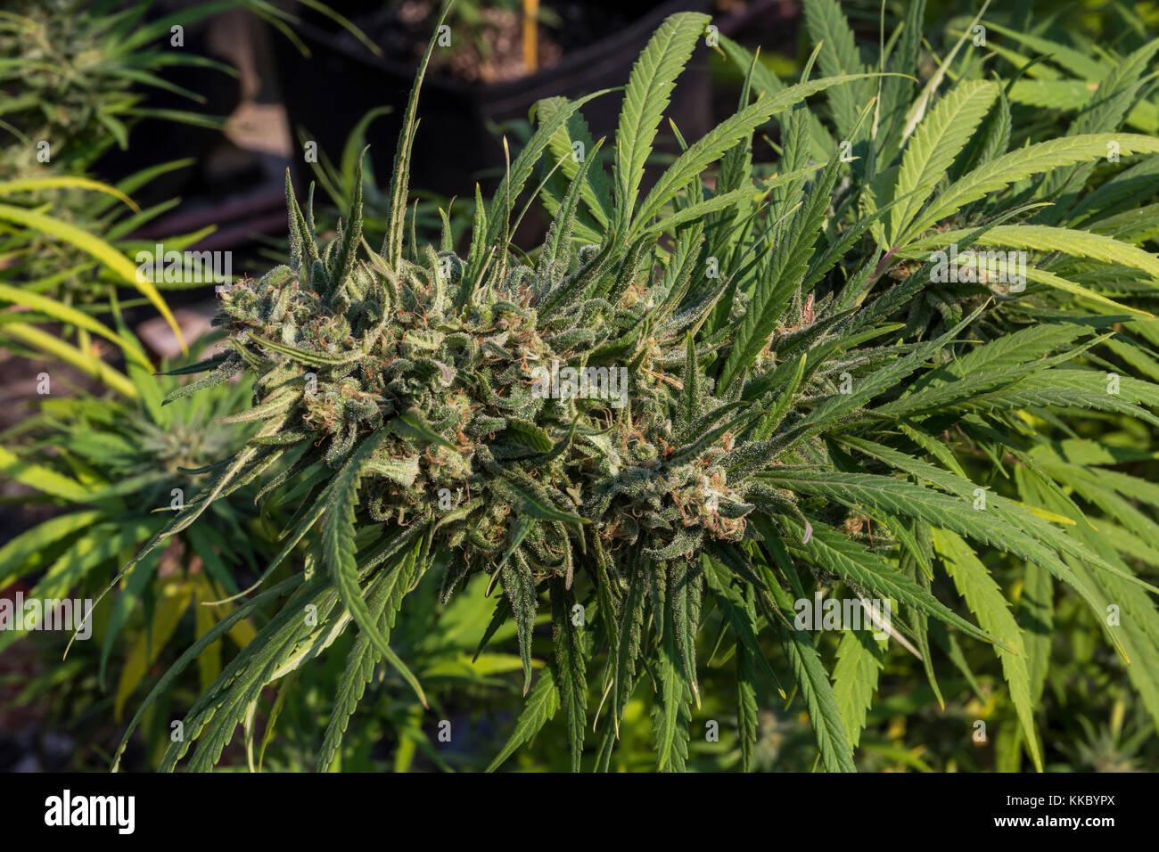 Les trichomes, colas, blue dream, le cannabis bluedream