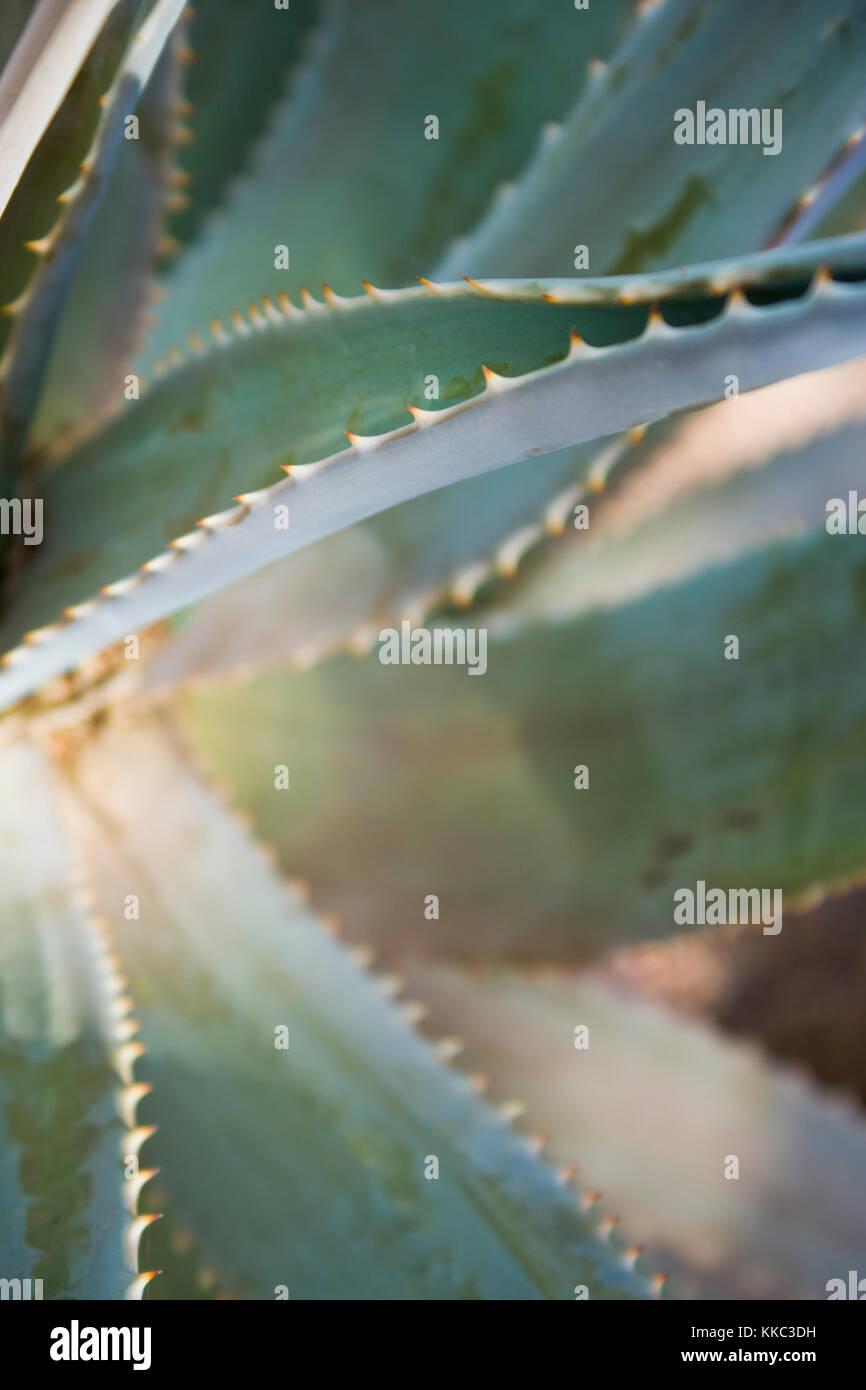 Gros plan d'une vue détaillée de l'un agave et bords dentelés de c'est d'épaisseur feuilles charnues. Jardins botaniques de Phoenix. Banque D'Images