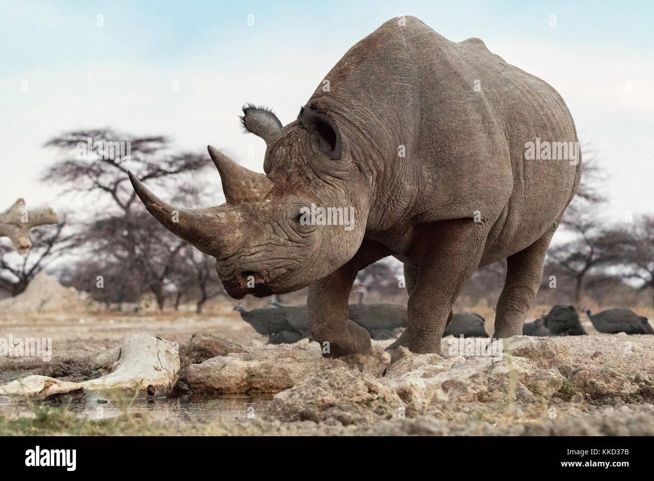 Le rhinocéros noir (Diceros bicornis) - côté est du parc national d'Etosha, Namibie, Afrique Photo Stock