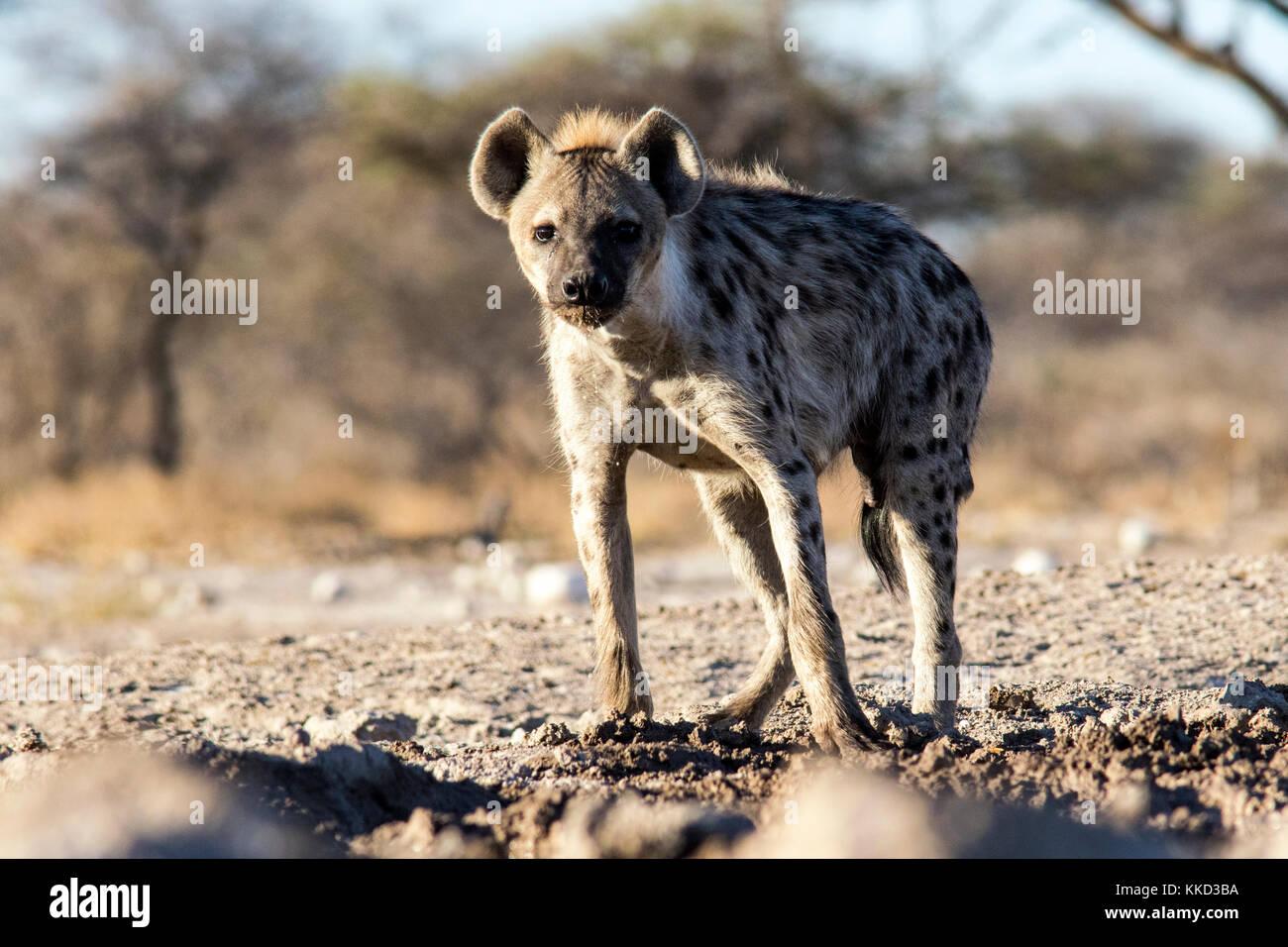 L'Hyène tachetée (Crocuta crocuta) - onkolo cacher, onguma game reserve, la Namibie, l'Afrique Photo Stock
