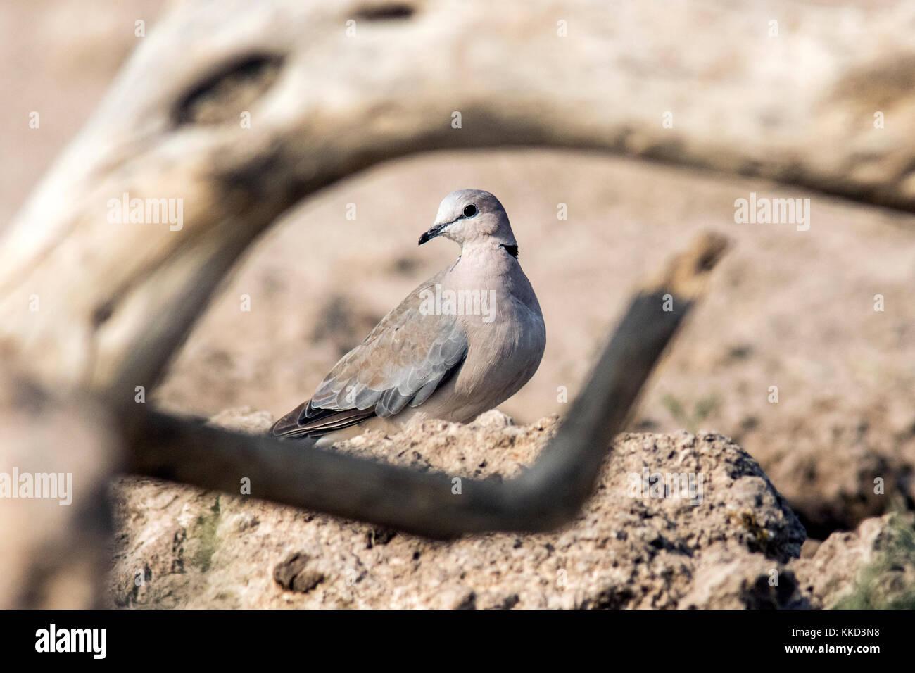Tourterelle ou Tourterelle du Cap (streptopelia capicola) - onkolo cacher, onguma game reserve, la Namibie, l'Afrique Photo Stock
