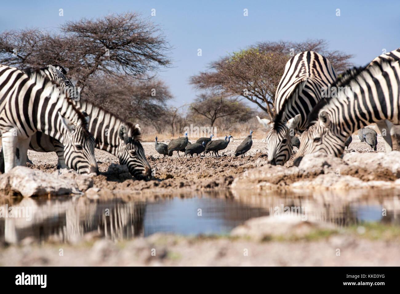Le zèbre de Burchell (Equus quagga burchellii) - onkolo cacher, onguma game reserve, la Namibie, l'Afrique Photo Stock
