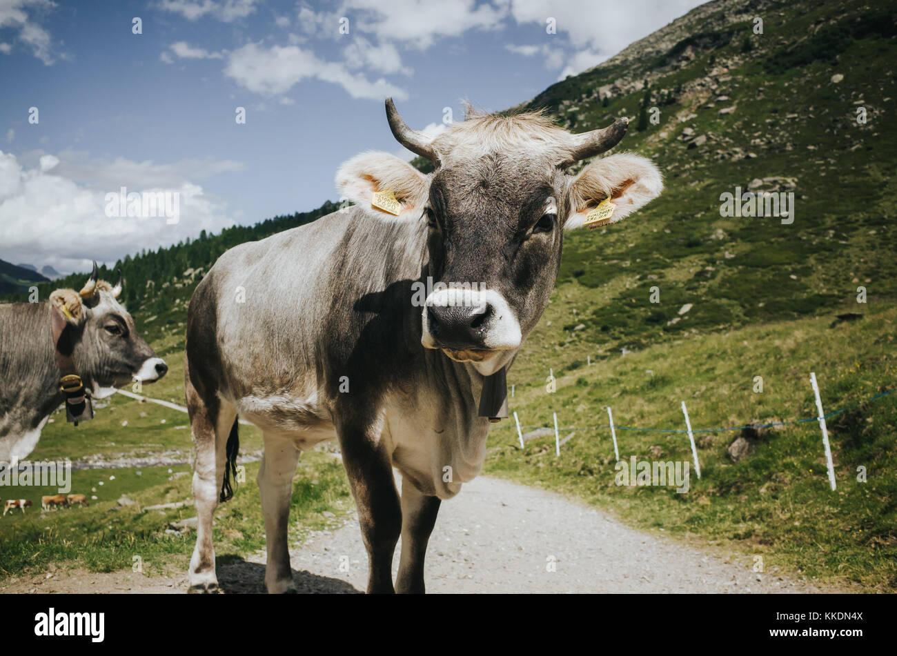 Les vaches à la caméra en Photo Stock