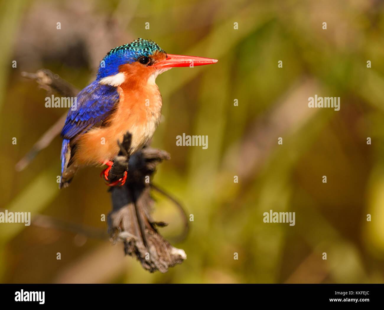 La faune sur la rivière Chobe, au Botswana Photo Stock