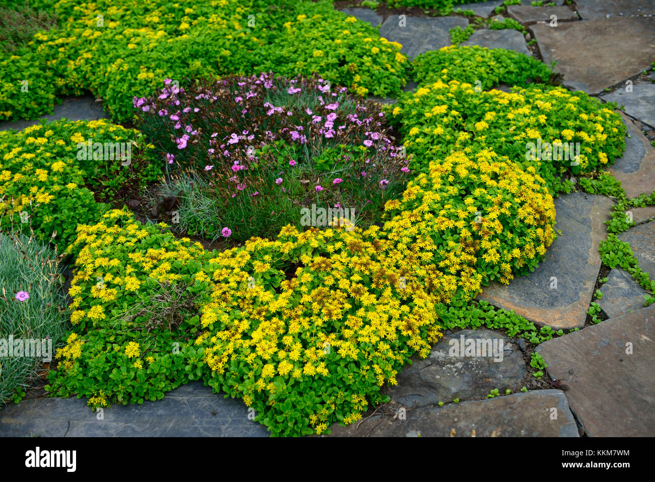 Sedum kamtschaticum var ellacombeanum, sedums, rock garden,rocaille ...