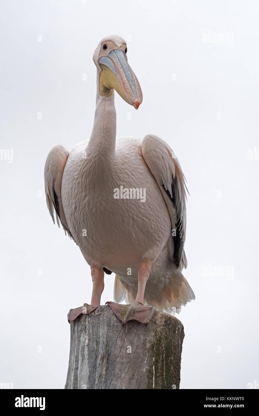 Great White Pelican sur un post à Walvis bay, Namibie Photo Stock