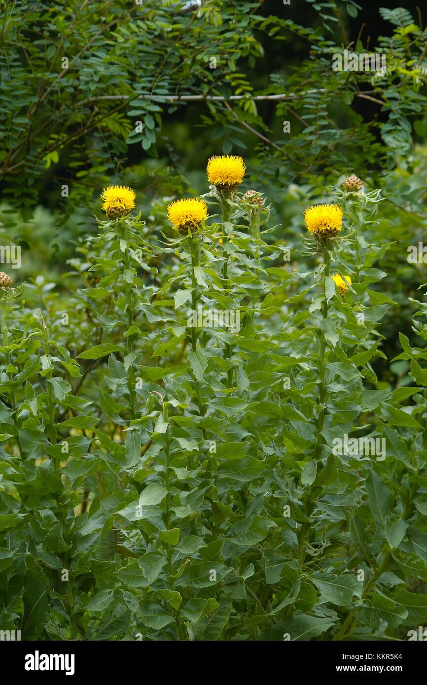 Fleurs jaunes de la carpe à la centaurée noire (Centaurea ...