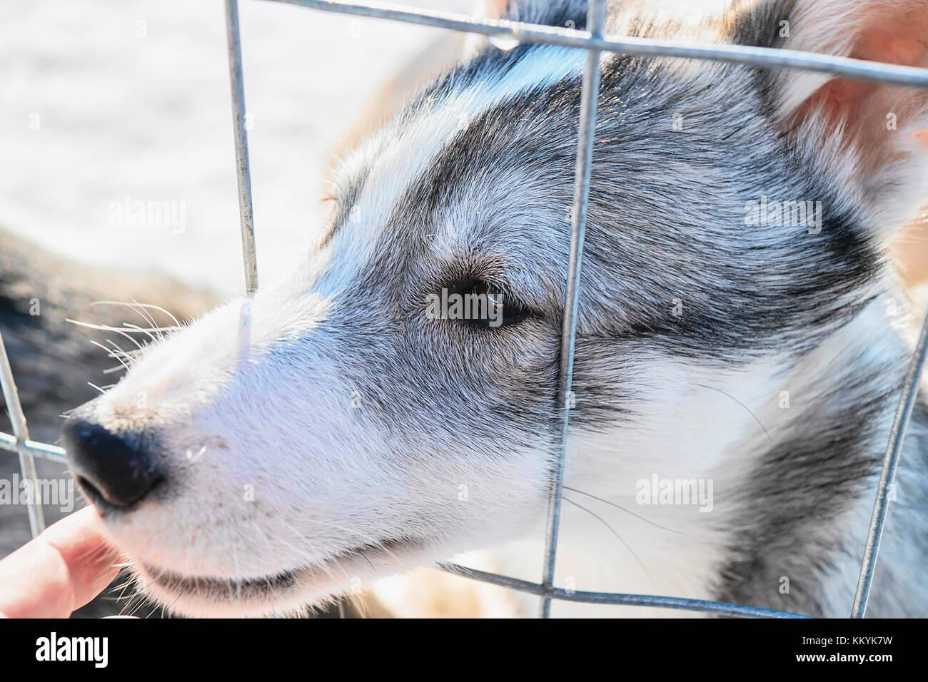 Visage drôle de chiot Husky tout au long de la grille à l'enceinte à Rovaniemi, Laponie, Finlande Banque D'Images