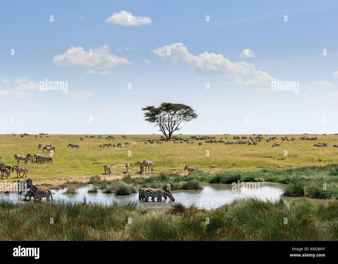Les zèbres le pâturage dans le Serengeti, Tanzanie, Afrique du Sud Photo Stock