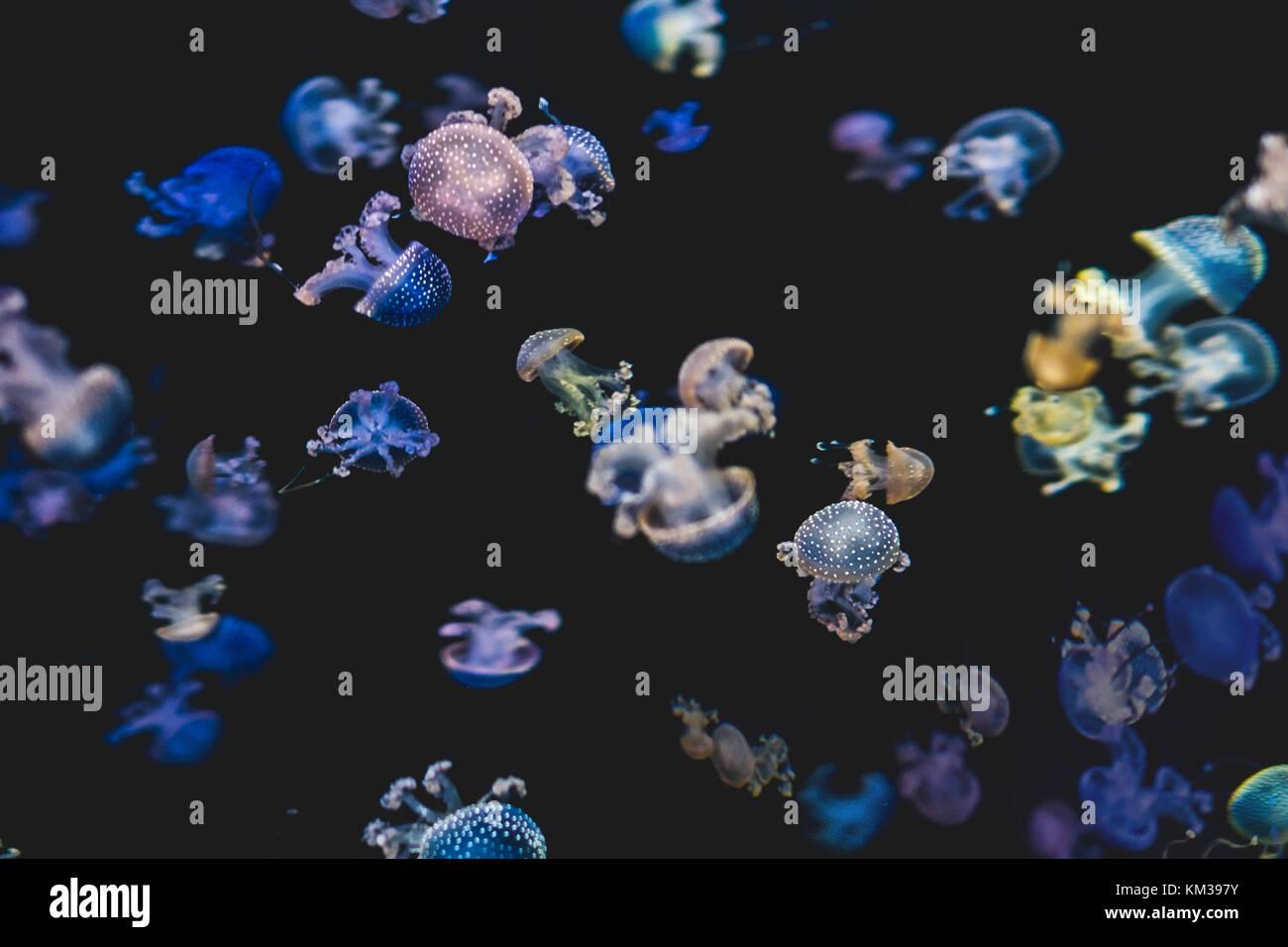 Méduses colorées sur fond noir - blanc méduse tachetée Photo Stock