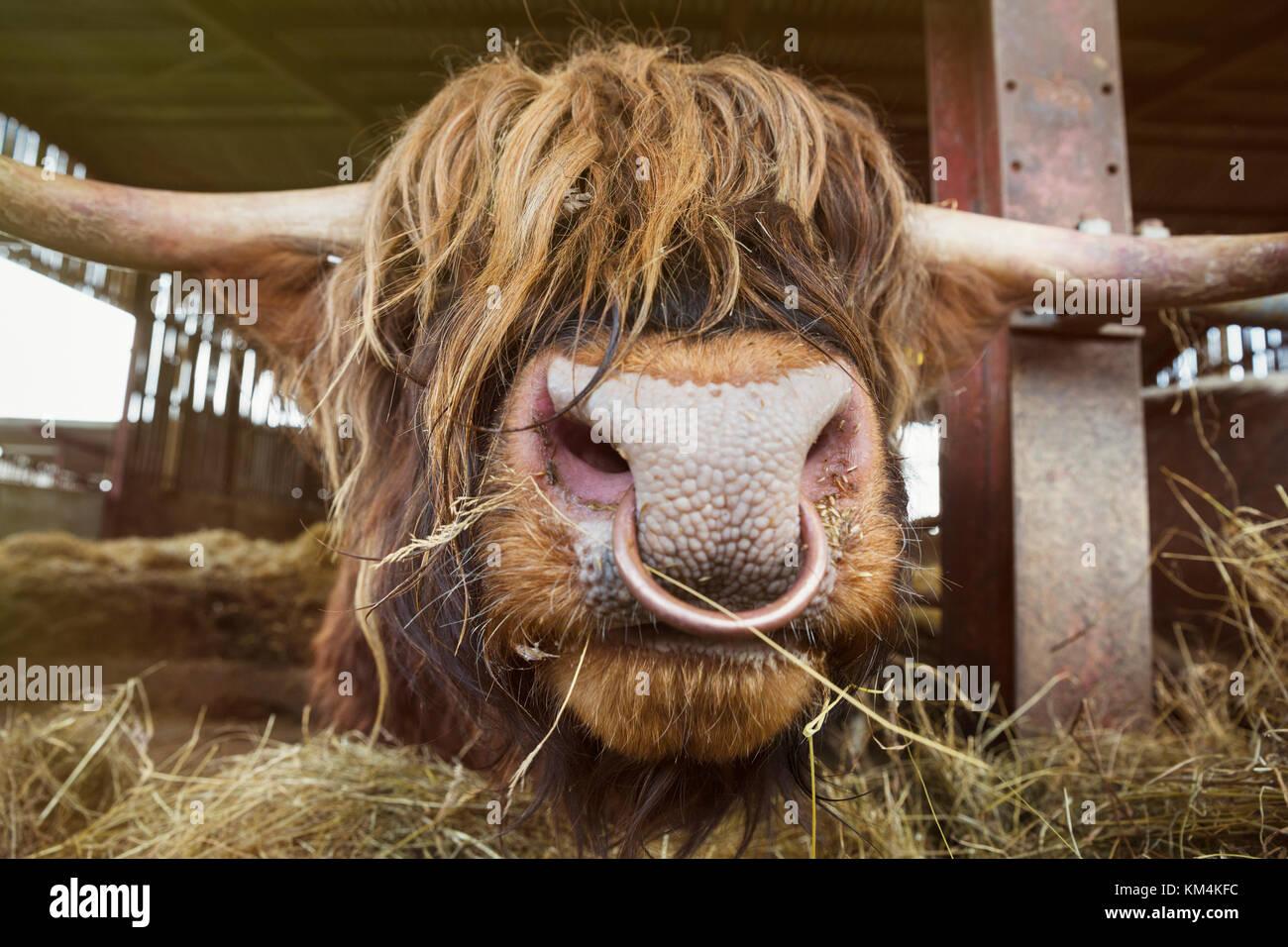 découvrir les dernières tendances toujours populaire nouveau style Close up of brown highland taureau avec longue robe ondulée ...