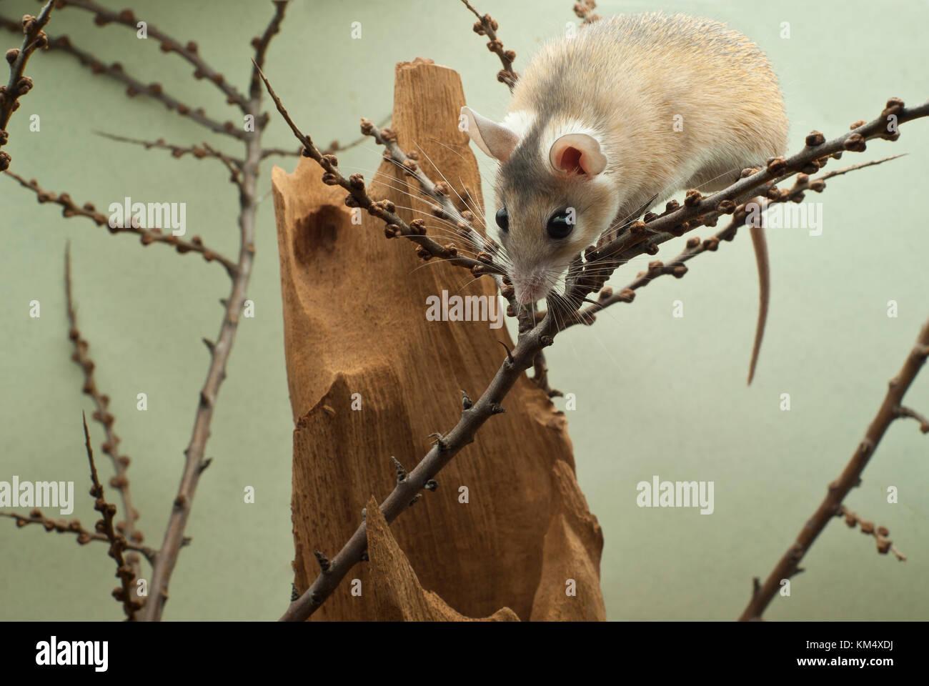 Souris Grimpe Au Mur climbs over photos & climbs over images - alamy