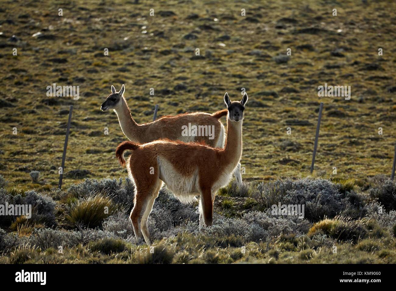 Guanacos (lama guanicoe), près d'El Chalten, Patagonie, Argentine, Amérique du Sud Banque D'Images