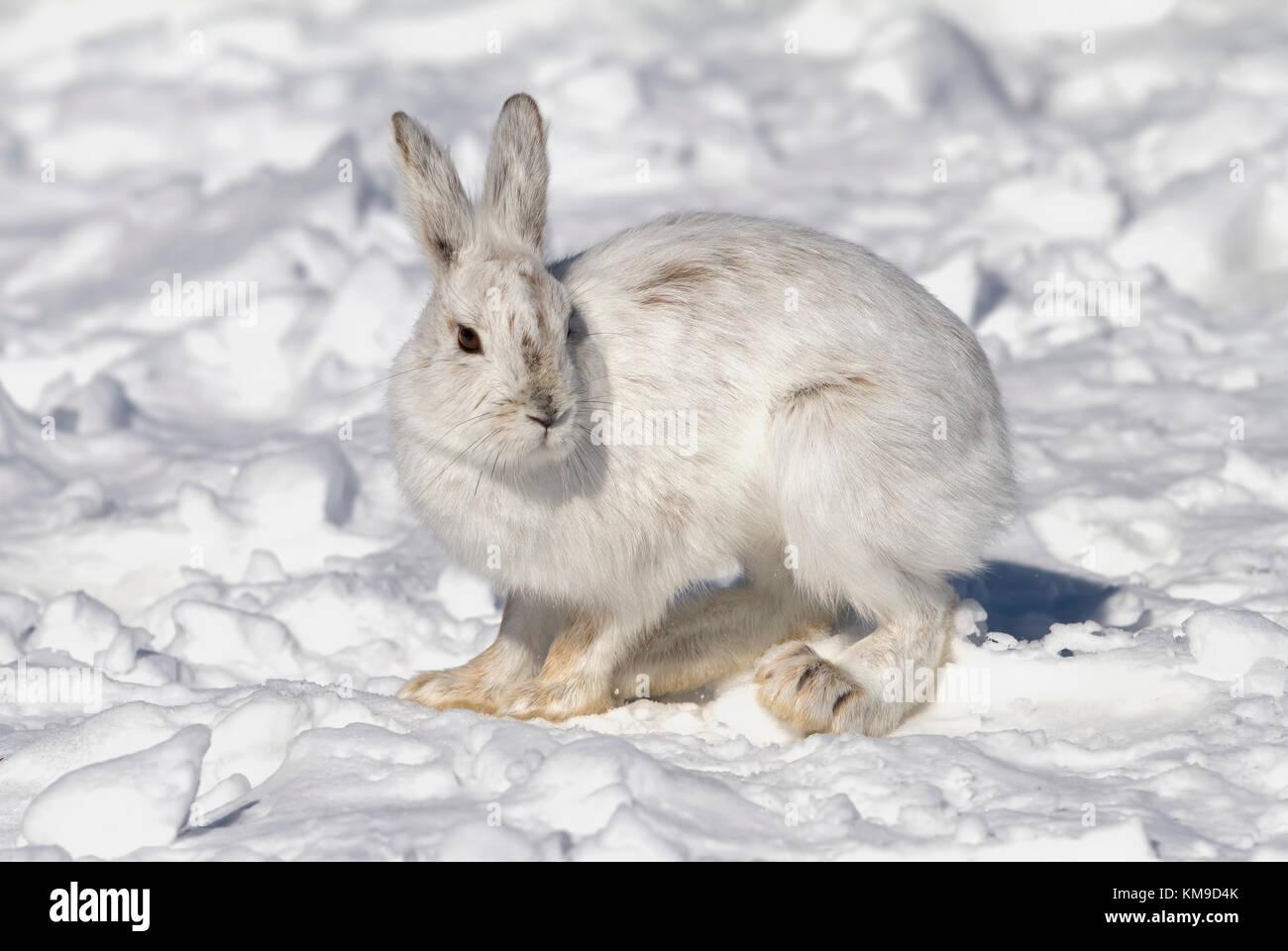 Le lièvre ou diverses espèces de lièvre (Lepus americanus) debout dans la neige avec un manteau blanc Photo Stock