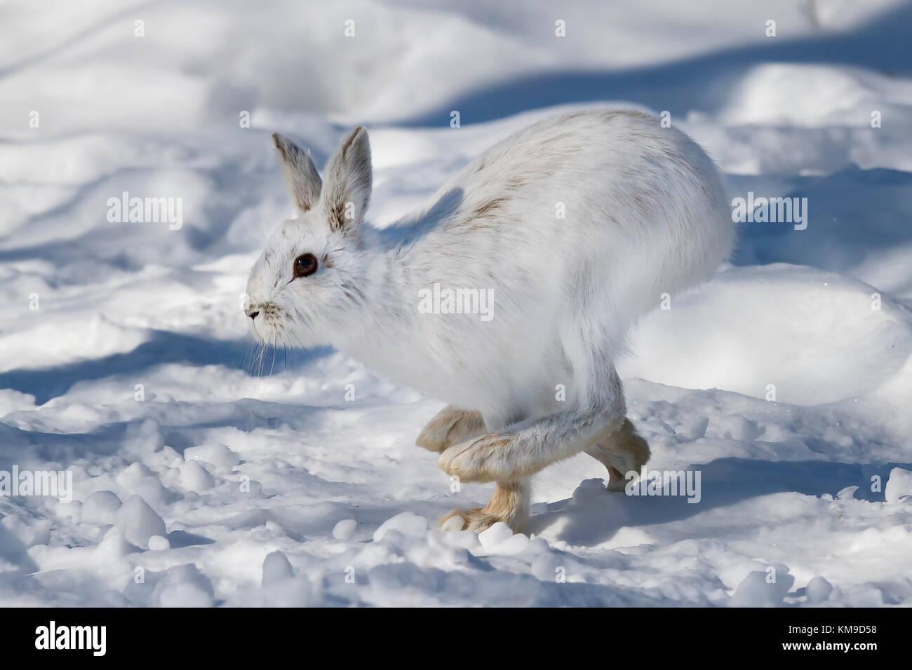 Le lièvre ou diverses espèces de lièvre (Lepus americanus) fonctionnant dans la neige de l'hiver Photo Stock