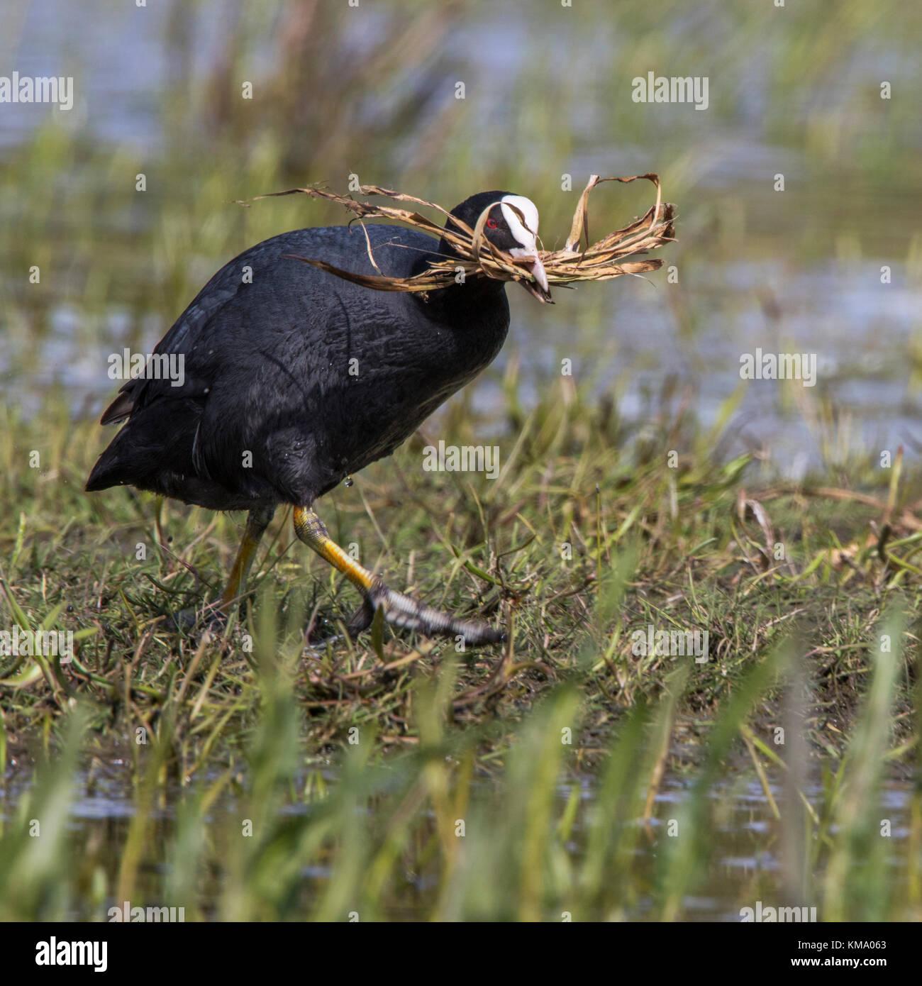 Foulque macroule (Fulica atra) dans des milieux humides la collecte de matériel de nidification comme l'herbe Photo Stock