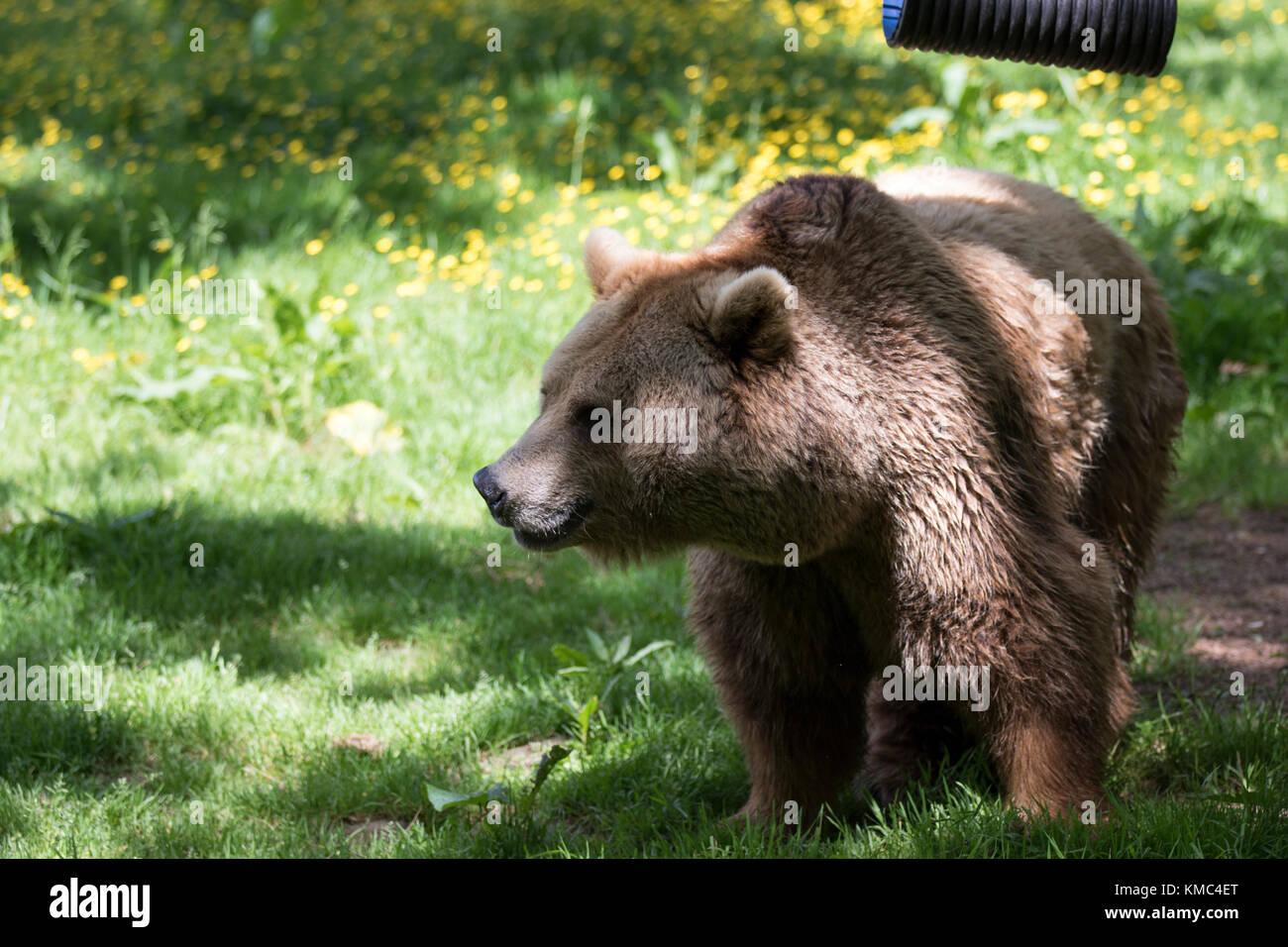 L'ours brun européen, Ursus arctos Photo Stock