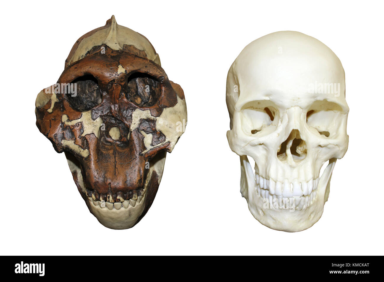 L'australopithecus boisei Casse-noisette Man vs Homo sapiens crâne Photo Stock
