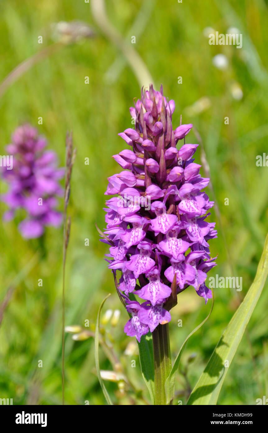 """Marais du Sud """"actylorbiza praetermissa Orchid',fleurs,juin des dunes de sable et des prairies humides,Chabeuil, Somerset, UK Banque D'Images"""