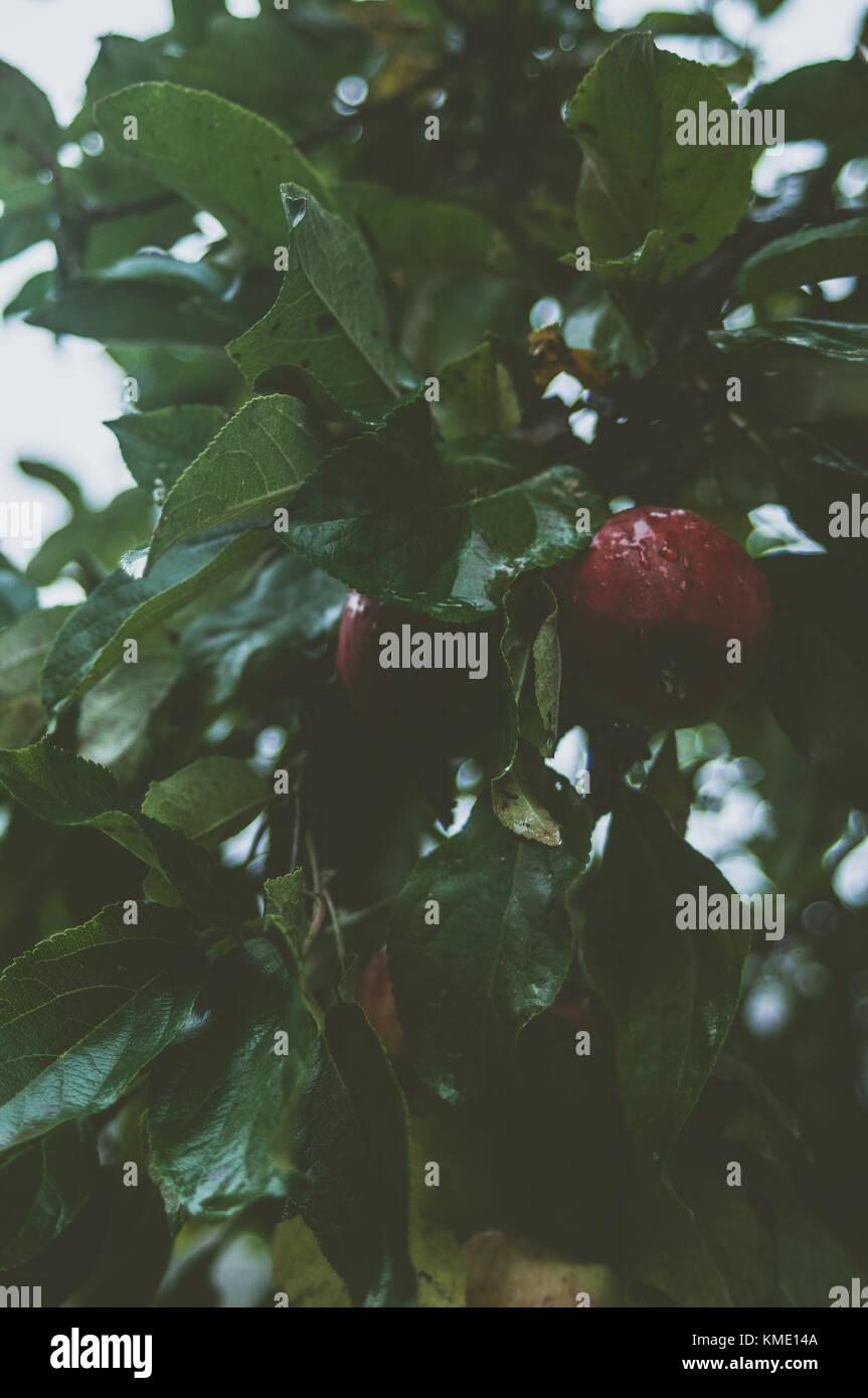 Branches d'Apple sur un jour pluvieux, étés brumeux. Photo Stock