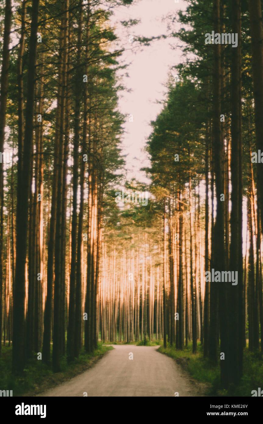 Route de la lumière. Forêt de pins. Photo Stock