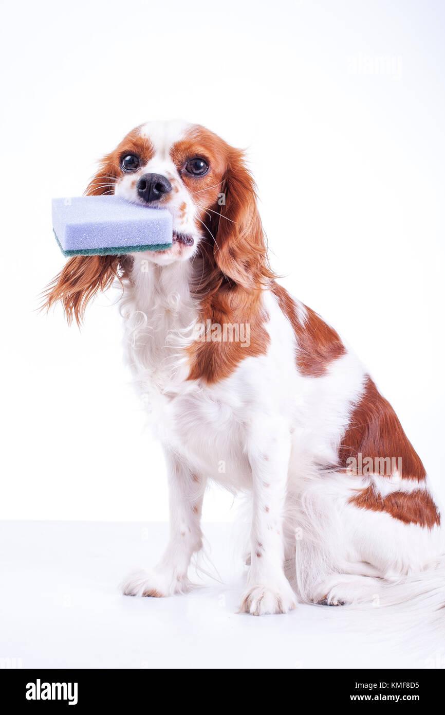 Adorable cavalier king charles spaniel chien chiot blanc isolé sur fond de studio. dog puppy avec cuisine nettoyage Photo Stock