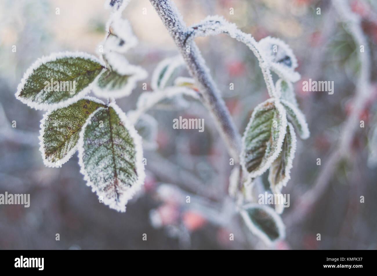 Cristaux de givre sur les feuilles sweetbrier. Photo Stock