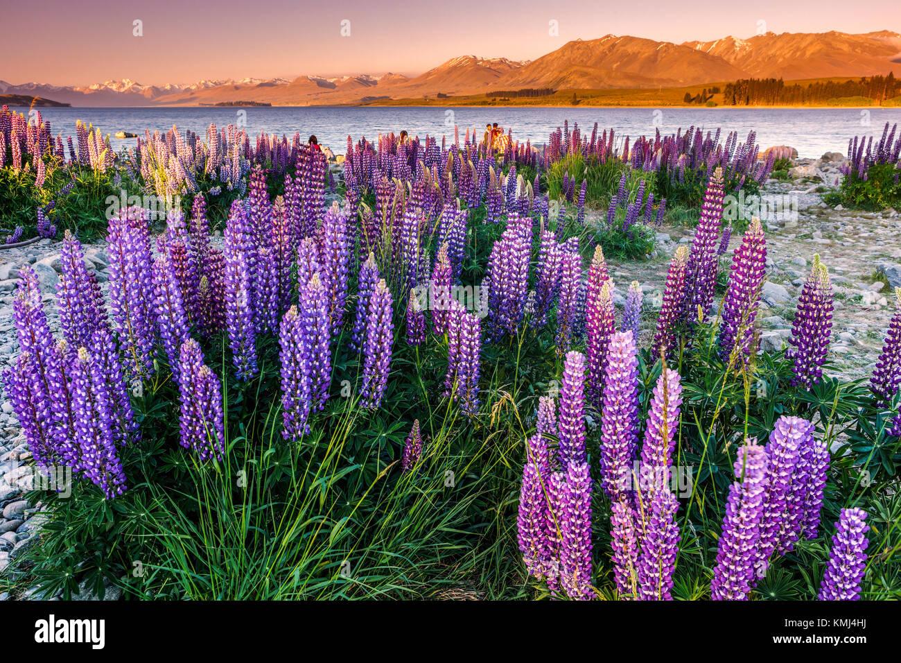 Lupins au Lac Tekapo, Mac Kenzie Pays, la Nouvelle-Zélande. Photo Stock