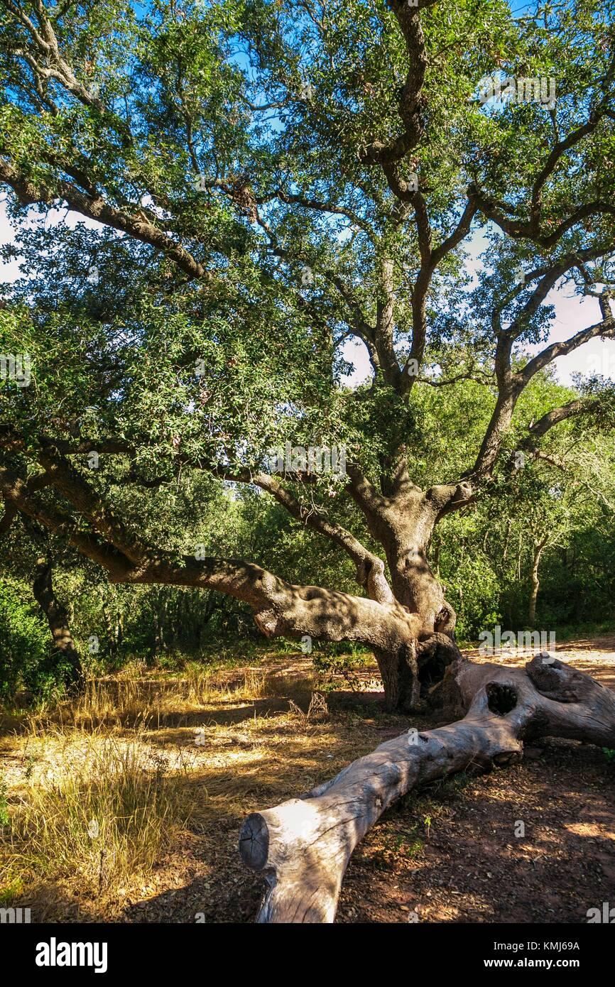 Le chêne d'Alfuri de Dalt. Arbre unique. Cami de Cavalls de chemin. Plage de Cala Pilar. Ciutadella de Photo Stock