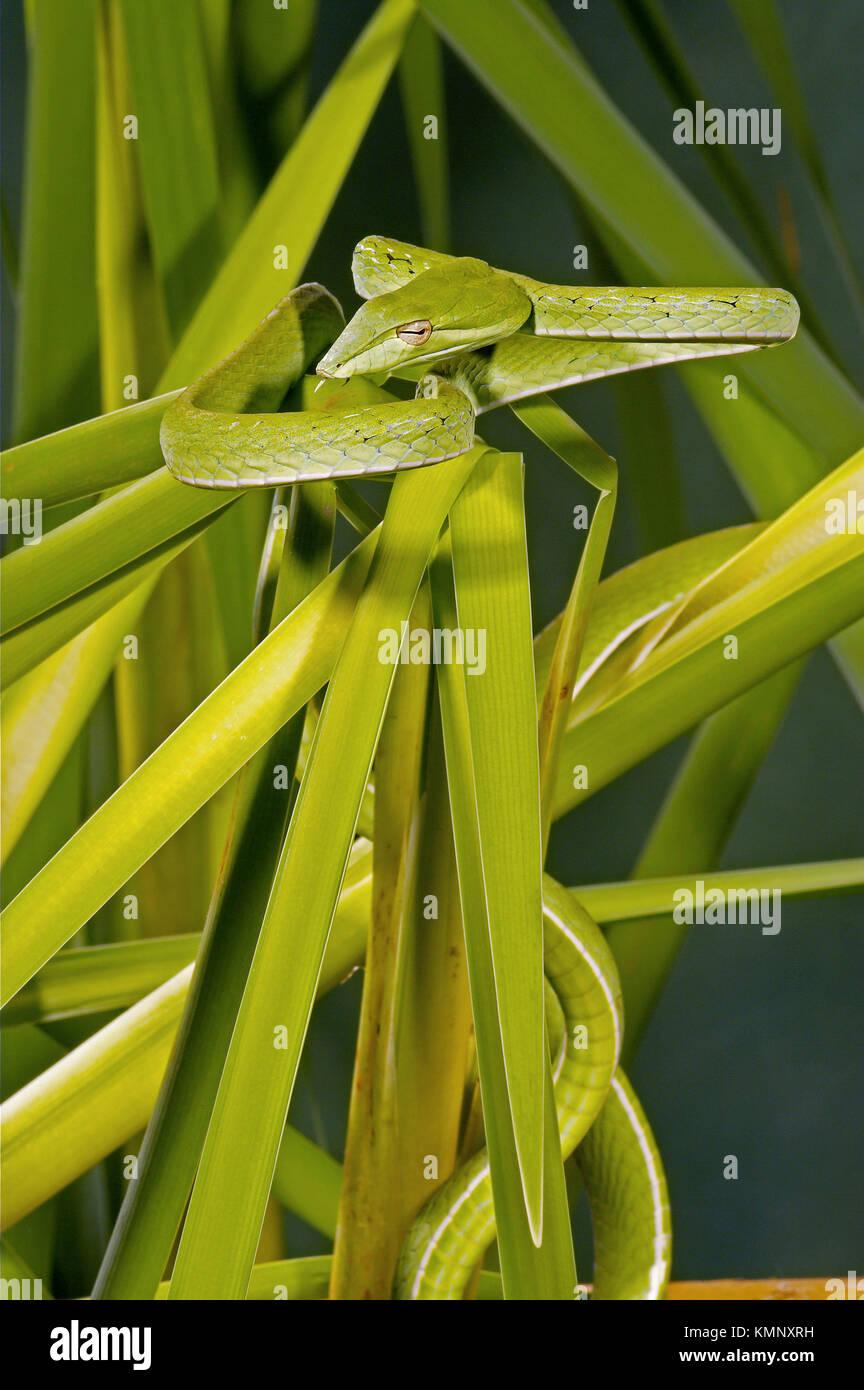 Arbre généalogique bec long serpent (Ahaetulla prasinus) Banque D'Images