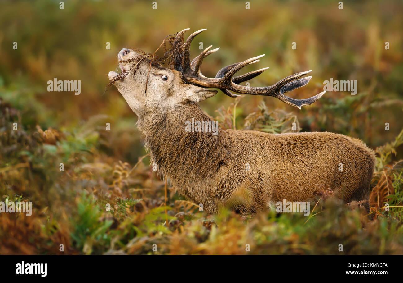 Red Deer stag beuglant pendant le rut en automne, au Royaume-Uni. Banque D'Images